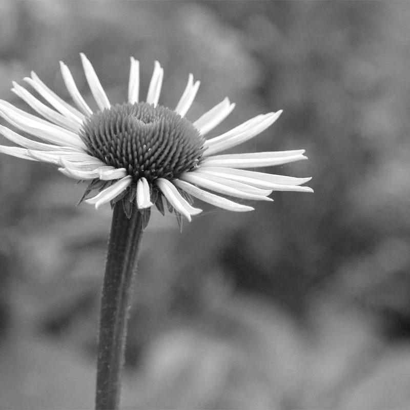 zwart-wit kaart - bloem   muller wenskaarten