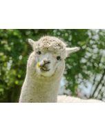 ansichtkaart eye-comm - alpaca