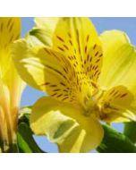 bloemenkaart - fresia