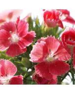 bloemenkaart - duizendschoon