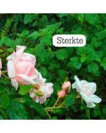 wenskaart tekstvak - sterkte - roze roosjes