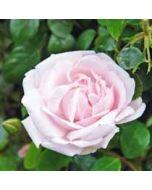 bloemenkaart - roze roos