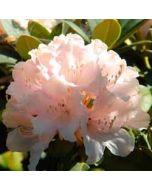 bloemenkaart - rhododendron zalmroze