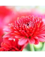 bloemenkaart - chrysant