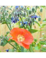 bloemenkaart muller wenskaarten - papaver en komkommerkruid