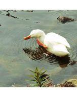 wenskaart muller wenskaarten - witte eend