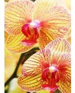 grote bloemenkaart A4 muller wenskaarten - orchidee