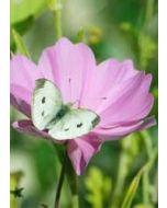 grote bloemenkaart A4 - vlinder op bloem cosmea