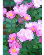 grote bloemenkaart A4 - roze roosjes
