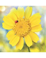 wenskaart second nature - lieveheersbeestje op gele bloem