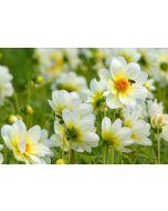 wenskaart eye-comm - dahlia's bloemen
