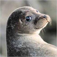 wenskaart rapture - zeehond