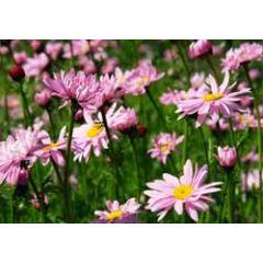 ansichtkaart - roze madeliefjes