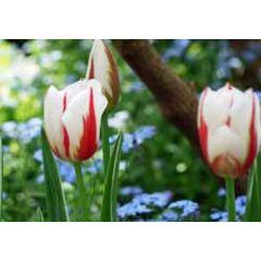 ansichtkaart - tulpen en vergeetmenietjes