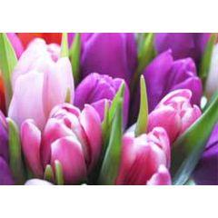 ansichtkaart - tulpen paars roze
