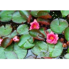 ansichtkaart - waterlelies