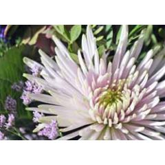 ansichtkaart - chrysant