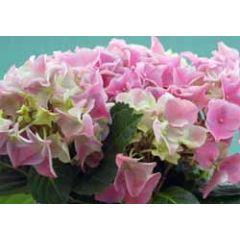 ansichtkaart - hortensia bloemen