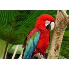 ansichtkaart - papegaai - blauw