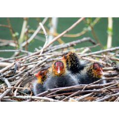 ansichtkaart eye-comm - meerkoet in nestje