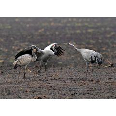 ansichtkaart eye-comm - kraanvogels