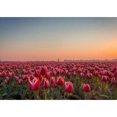 ansichtkaart eye-comm - tulpen
