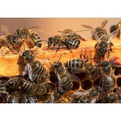 ansichtkaart eye-comm - bijen