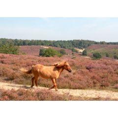 ansichtkaart eye-comm - paard in nationaal park Veluwezoom