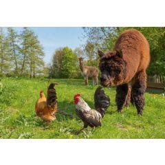 ansichtkaart eye-comm- alpaca's en kippen