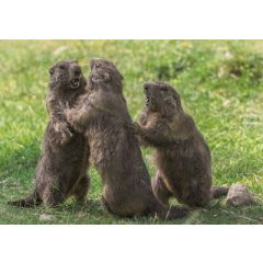 ansichtkaart eye-comm - marmotten