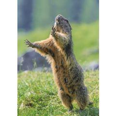 ansichtkaart eye-comm - marmot