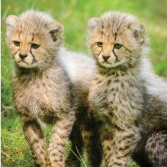 wenskaart second nature - cheeta welpjes