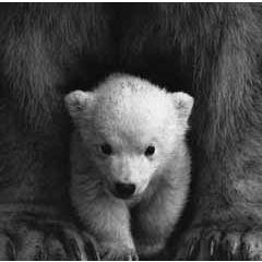wenskaart second nature - ijsbeertje