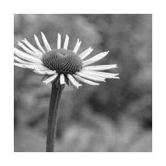 zwart-wit kaart - bloem