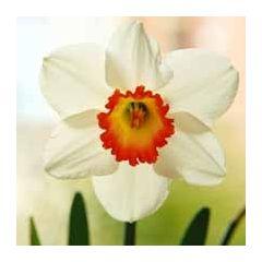 bloemenkaart - narcis