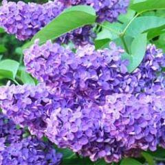 bloemenkaart - sering paars