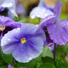 bloemenkaart - viooltjes