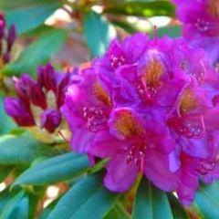 bloemenkaart - rhododendron paars-roze
