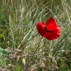 bloemenkaart - klaproos papaver