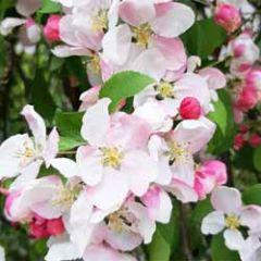 bloemenkaart - appelbloesem