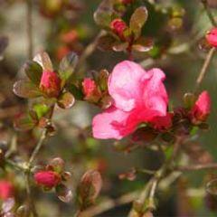 wenskaart - struik met rode bloemetjes