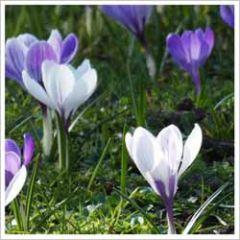 bloemenkaart - krokusjes