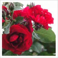 wenskaart - rode rozen