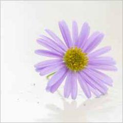 wenskaart - paarse lila bloem