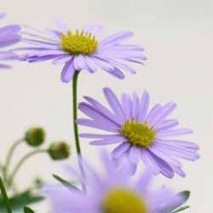 wenskaart - paarse lila bloemen