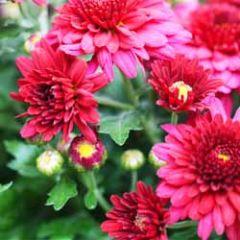 bloemenkaart - chrysanten