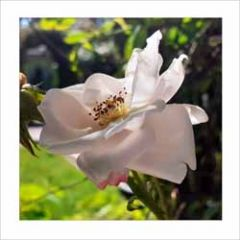 bloemenkaart muller wenskaarten - roos