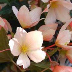 bloemenkaart muller wenskaarten - begonia bloemetjes