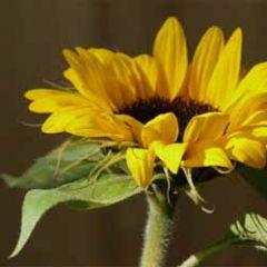 bloemenkaart muller wenskaarten - zonnebloem