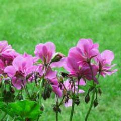bloemenkaart muller wenskaarten - geranium